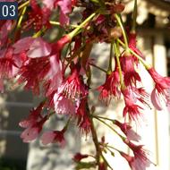 オカメ桜 早咲きの桜です。 淡いかわいいさくらが多い中 ひときわあでやかなピンクの桜です。